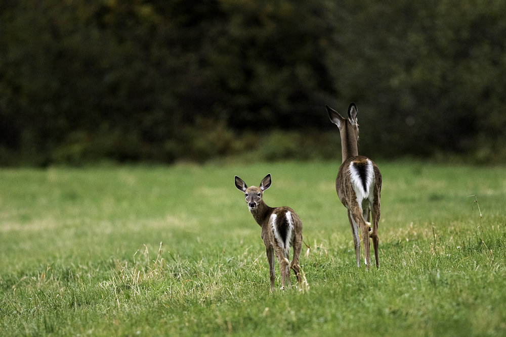 white-tailed-deer-and-fawn-new-brunswick-canada-4-BRimages.ca