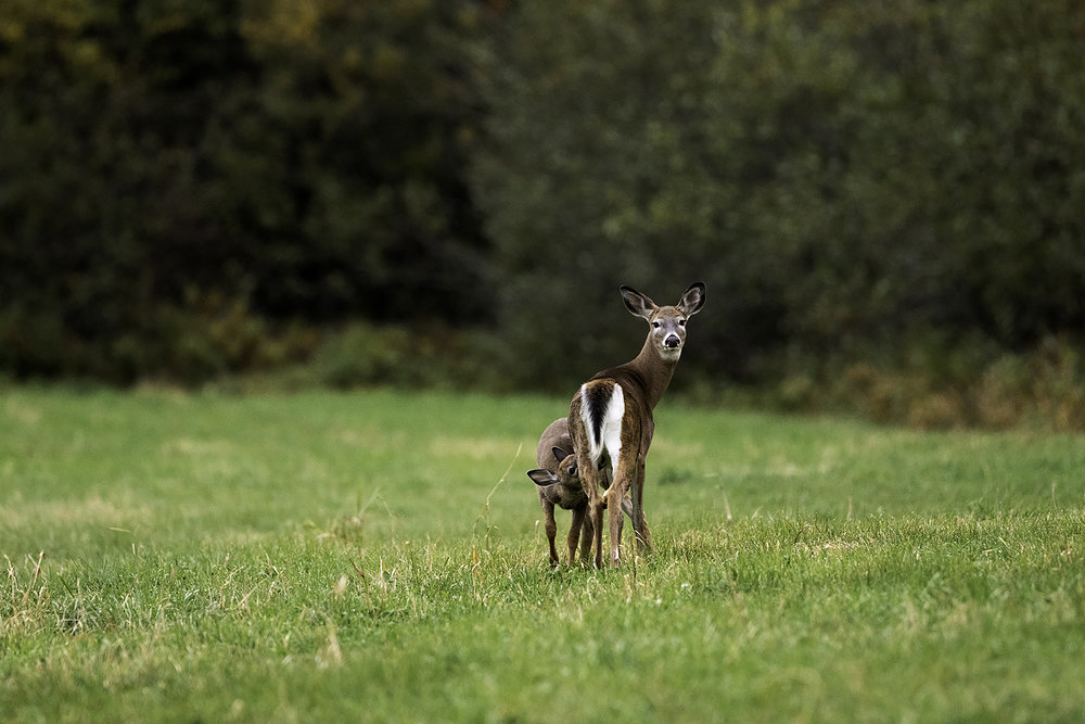 white-tailed-deer-and-fawn-new-brunswick-canada-6-BRimages.ca