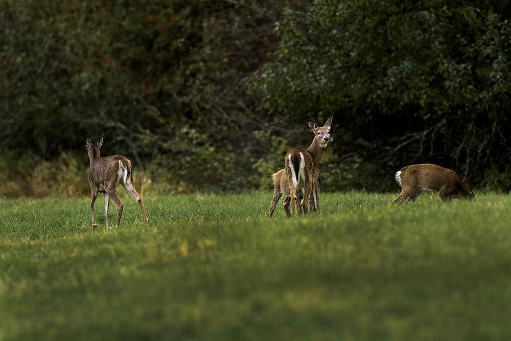 white-tailed-deer-and-fawns-new-brunswick-canada-2-BRimages.ca