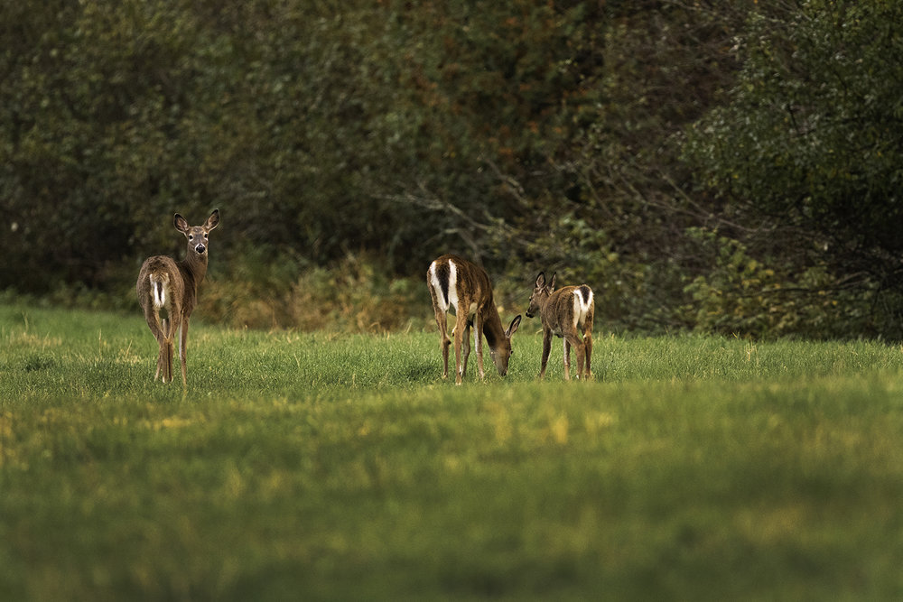 white-tailed-deer-and-fawns-new-brunswick-canada-4-BRimages.ca