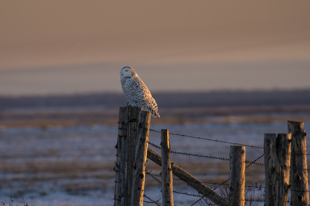 sunrise-snowy-owl-winter-new-brunswick-BRimages.ca