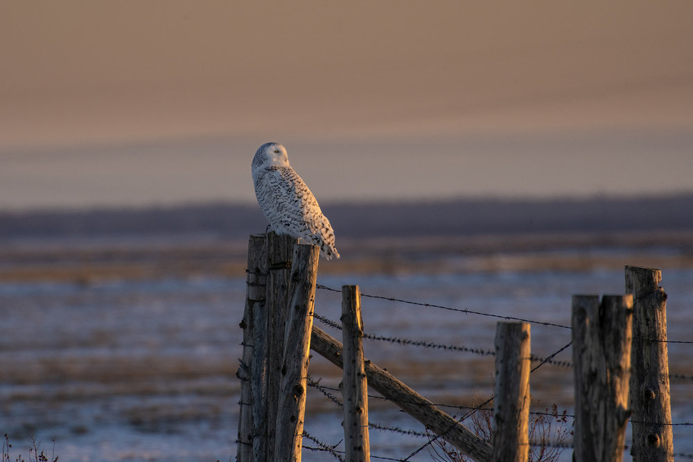 sunrise-snowy-owl-winter-new-brunswick-3-BRimages.ca