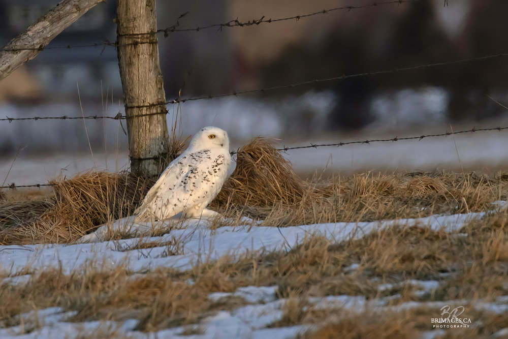 snowy-owl-ground-new-brunswick-BRimages.ca