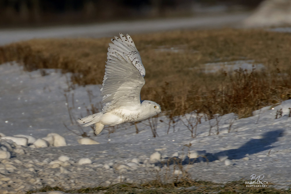 snowy-owl-in-flight-new-brunswick-4-BRimages.ca