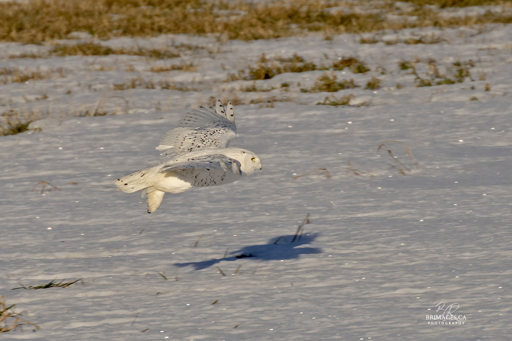 snowy-owl-in-flight-new-brunswick-5-BRimages.ca