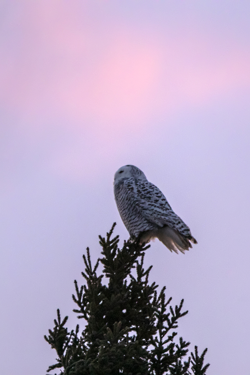 snowy-owl-winter-sunrise-new-brunswick-BRimages.ca