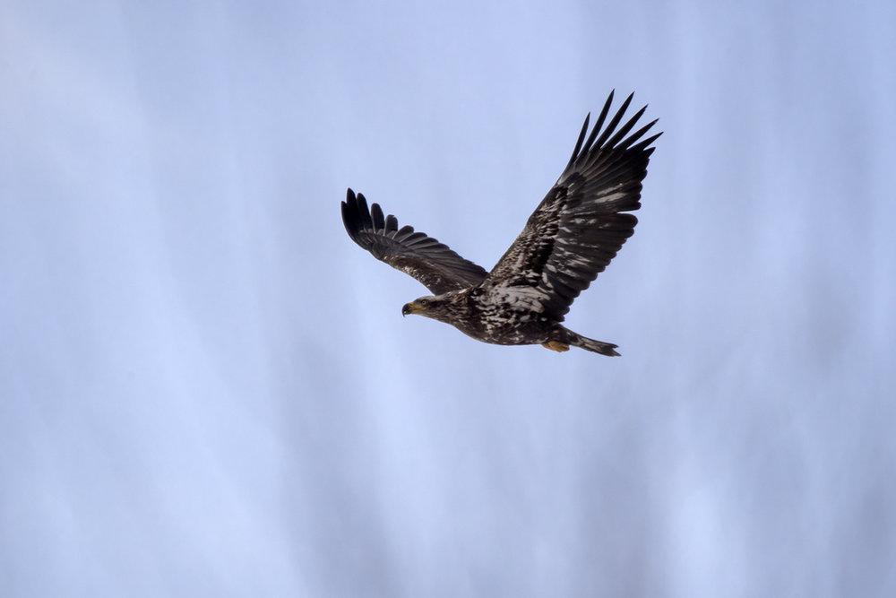 bald-eagle-juvenile-flying-2-new-brunswick-BRimages.ca