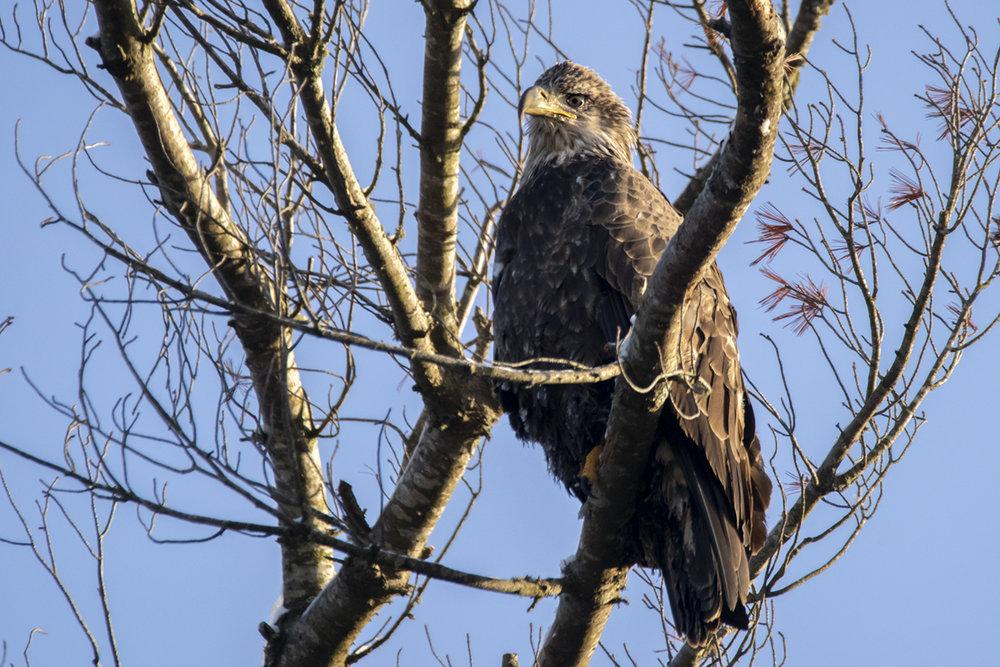 bald-eagle-sub-adult-new-brunswick-BRimages.ca