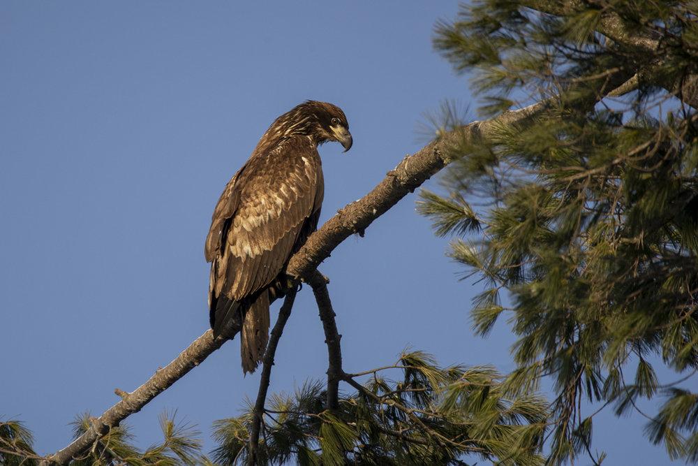 bald-eagle-juvenile-2-new-brunswick-BRimages.ca