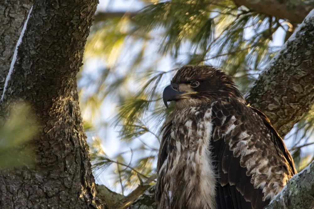 bald-eagle-immature-closeup-new-brunswick-BRimages.ca