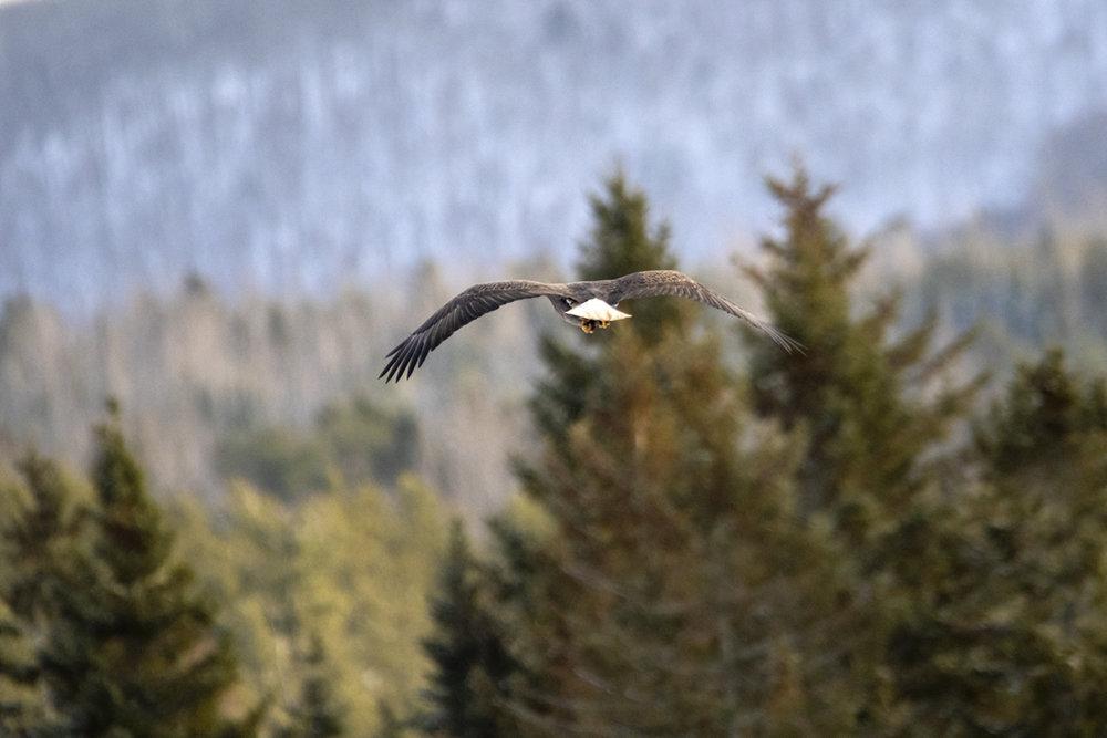 bald-eagle-adult-flying-new-brunswick-BRimages.ca