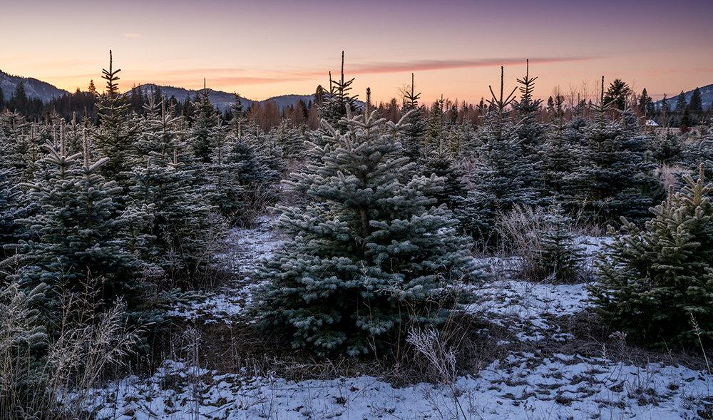 YL Pine Essential Oil from  Highland Flats Tree Farm—Naples, Idaho, USA
