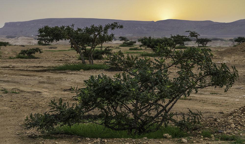 YL Sacred Frankincense Oil  Arabian Frankincense Distillery—Muscat, Oman Omani