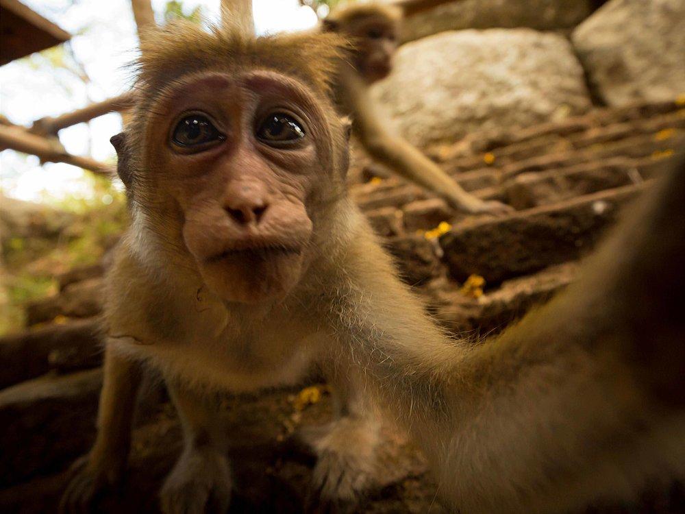 Toque Macaque Selfie - Joseph Gray