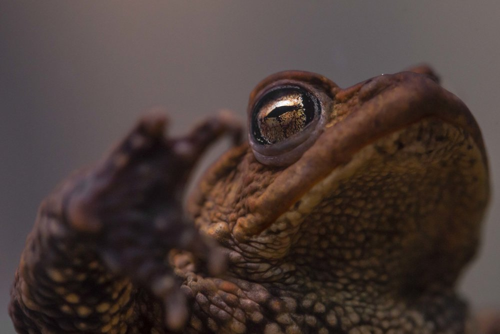 Toads Eye