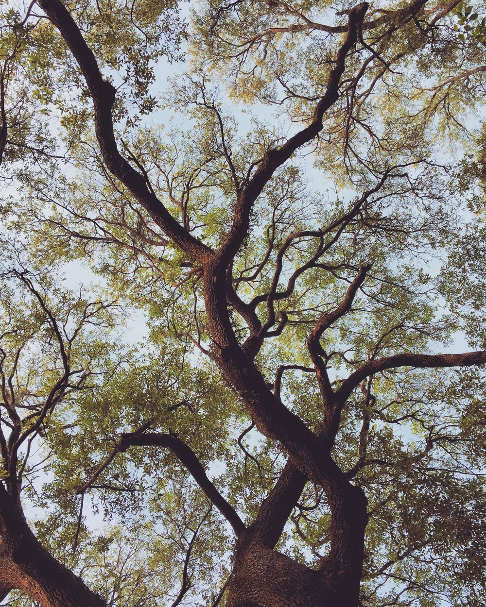 Savannah Trees (Reach) -