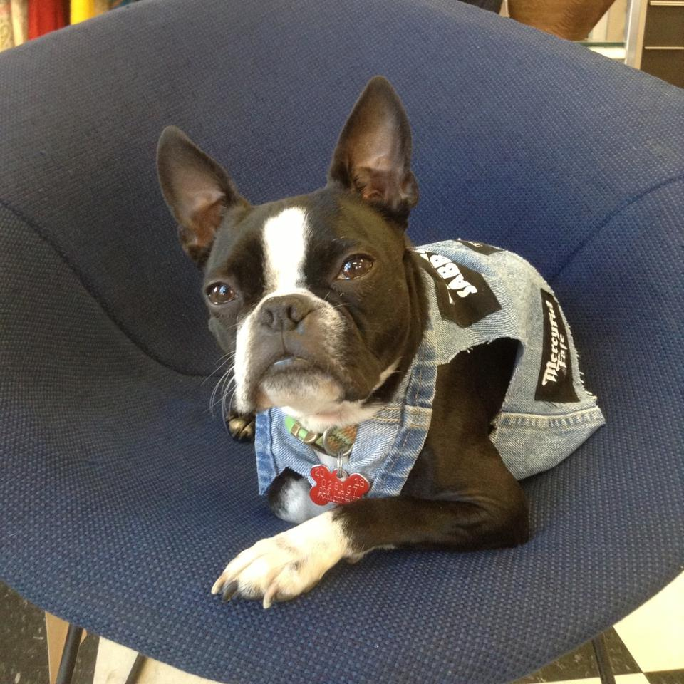 Woof! - Hi, I'm Henry the Boston Terrier from the A Gal Named Cinda Lou Shop. I have been working as the shop dog since I was 6 months old. In fact, I did a photo shoot for a couple of magazines where I was a feature story.     I will do my best to get you into the shop, for I'm friendly and very personable. If you buy me a treat, I'll give you a high five! I donate the treat money to rescue other Boston's like me. The rest of the store business is up to the humans, my owner and her parents. You can always take my picture and tag it with #HenrytheBoston. I have made countless friends working at Westerville, and in our Short North Shop. Join the Henry Fan Club next time you're in the shop!