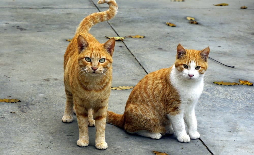 Find A Pet - Two Ginger Cats