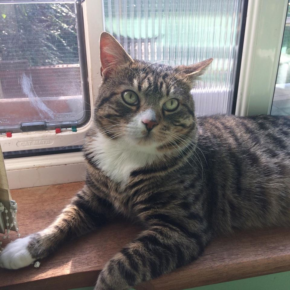 """Sam needs an extra special home and experienced owners.    """"Hi, my rescuers have called me Sam. I've been through a lot since I got lost. I was picked up cold, hungry and so very scared. I do still get scared when people reach for me suddenly and I'm sorry to say I have bitten my lovely fosterers. I don't mean to hurt them but I do get frightened. I love playing, chatting, fusses when I want and just like to have company. I know my fosterers are doing their best for me but I'm getting really bored in my pen. I love having a safe space outside to sit and watch the world go by but hate it when other cats come close.  I would love to have a home of my own again, with someone who understands I like to come to them when I want fuss, and be left alone at other times. I would rather be an only cat too, so I don't have to fight my corner.""""    Sam needs an experienced cat owner, who has no other cats, and who can give him patience and understanding. His biting has improved dramatically from when he first came into care but he will need an owner who, once they know him, can read his moods, and will let him be in their company without fussing over him when he just wants to be left in peace. We've had Sam thoroughly tested at the vets and all his bloods done to see if there is any underlying condition and all his blood work came back ok. The only thing the vets did say is that they felt he wasnt able to see clearly, there is no doubt he can see light, shade and movement but couldn't say how much he can actually see....so we are not sure if this could be a contributing factor and he bites when he is caught unawares and something worries him  A house with a porch would also be best so his new owner doesn't have to grab him to stop him following them outside. This is one of the circumstances where he has bitten and we think due to the fact that he doesnt see it about to happen and then panics when he feels hands around him. It may also be due to some past trauma as well because we"""