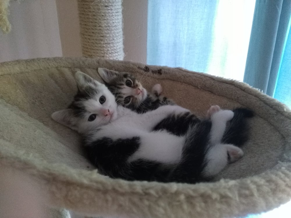 Lily and Louis are two beautiful,playful and friendly 9 week old kittens (15/07/18) looking for their forever home together. They are typical kittens in every way , they love their food and are fully litter trained. They have now had their first vaccinations and are ready to find their forever home