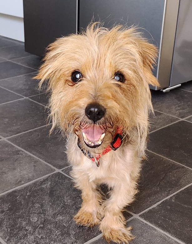 **Special person needed to give Gertie a 5* happy retirement home**  (Please read in full if you are interested in giving Gertie a home)  Little Gertie was found as a stray and taken into the vets by the lady that found her. Poor Gertie was very underweight. Her spine and ribs sticking out and her fur all matted. She is also completely blind. Despite informing all the authorities, posters and hundreds of shares on social media, no one has come forward to claim her so we are looking for a new home for her.  We believe Gertie to be around 15 years old. She is such a gentle and sweet natured dog that doesn't let her age or the fact that she can't see hold her back. She is inquisitive and likes to explore. She has cleverly begun to map the house of her foster home and now knows her way around downstairs. She doesn't seem to mind other dogs or cats in the house and just ignores them if she comes into contact with them.  Gertie is still undergoing blood tests and checks, but it has been discovered that she is diabetic. Her new home needs to be confident to give twice daily insulin injections (this will be demonstrated, but is very simple and easy to do) The timing of these injections is very important and also her strict food intake and schedules.  She is still being monitored, but she does need very regular trips outside or she can tend to wee in the house - which is completely understandable given her age and diabetes. We have discovered that she is very unsure about being on grass, but will happily have plenty of wee's on slabs or concrete.  Gertie has been through so much. We know nothing of her background or who had her previously. She is very anxious if she is left alone and needs someone that can be with her all the time. She will happily stick to you like glue and gets upset if she doesn't have someone around to give her reassurance. It must be a scary time for a little old blind dog who doesn't know where she is. We are sure that given time and when she has settled into a new home and routine, her separation anxiety will not be quite as bad.  It was also discovered that poor Gertie would have been suffering for quite a long time with her teeth. Many are rotting and decaying and this can not only cause pain for her, but infection can also affect internal organs as well. Although it can be a risk at her age, we have discussed it with vets and we hope to be able to get her dental done this week when her bloods are more stable and has put a little bit more weight on.  Above all this, Gertie has stolen the hearts of everyone she meets! All the vets love her and her sweet nature wins everyone over. It must be so frightening to not be able to see, but she is so trusting of people. She really is a lovely girl. Who knows what her life before was like. We can only guess. But what we do know for certain is that Gertie deserves to live out her days being loved and spoilt.  Gertie needs a quiet home where there is someone around all of the time. She needs someone that is understanding of her age and medical condition and is not going to be put off by little accidents in the house if she can't hold on to get to the garden. She will be more than happy spending most of the day snoozing on a lap and getting plenty of cuddles.  If you would like to speak more about offering Gertie a home, please get in touch by filling out the adoption form via this link  www.rspca-stourbridgeanddistrict.org.uk/adoption-form   Stourbridge RSPCA will continue to cover any medical costs related to her diabetes provided she is rehomed in the branch area and able to be taken to our vets - Powis and Partners.