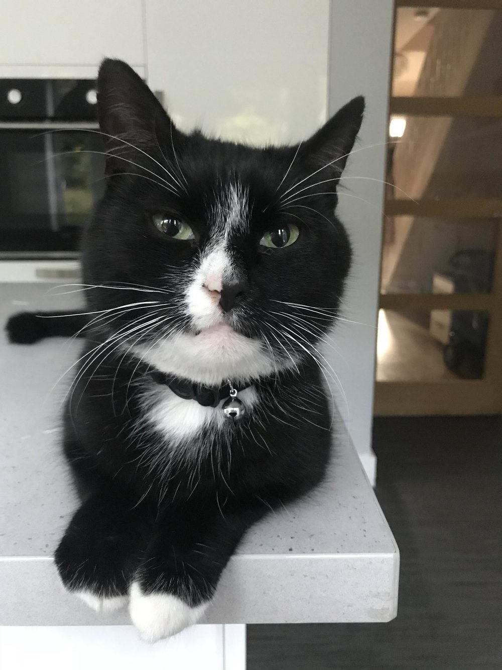 Frankie is a 7yr old handsome black and white boy who finds himself looking for a new home as his owner is moving to Australia.  We are told that Frankie is very loving and excellent with children. He doesn't mind other animals although he can be a bit bossy - he has been used to living with two small dogs so would most likely be fine with a well behaved and calm, cat friendly dog in a new home.  He is a bit of a mouser and likes to bring you the odd present, but other than that hes a nice boy who really just wants somewhere quiet and relaxed to call home.  Frankie is neutered and microchipped but the owner doesnt have any of the paperwork - he is not up to date with his vaccinations