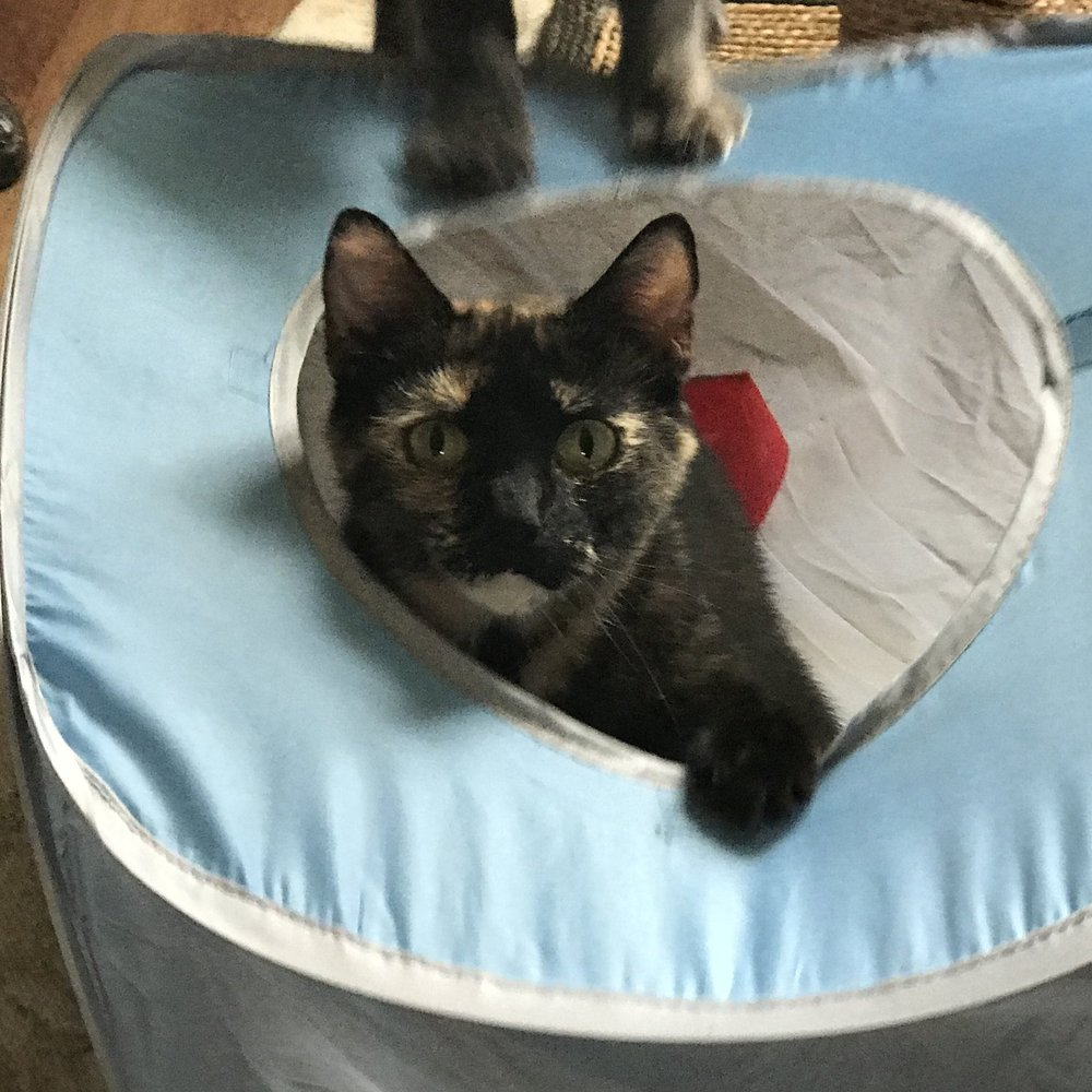 Shadow - Adopted Aug 18