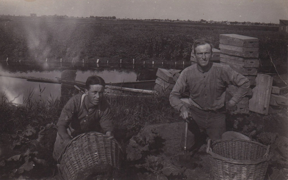 "Harvesting potatoes, or ""Aardappelen""  in Holland in the mid 1900's"