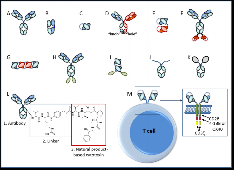"""Legend:    A.  IgG monoclonal antibody;  B.  FAb fragment;  C.  Single chain fragment, variable (scFv);  D.  Heterodimeric IgG-based bivalent, bispecific antibody;  E.  scFv-based bispecific antibody such as a BiTE (""""bispecific T-cell engager"""");  F.  IgG-scFv-based tetravalent, bispecific antibody;  G.  Tetravalent scFv-based antibody called TandAb;  H.  IgG-based Immunocytokine (cytokine is denoted by green oval);  I.  Tandem scFv-immunocytokine (cytokine is denoted by green oval);  J.  Fc-peptide fusion (peptides denoted by squiggled lines);  K.  Fc-protein fusion (protein denoted by gray oval);  L.  Antibody drug conjugate with three parts (antibody, linker, cytotoxic drug);  M.  Chimeric antigen receptor (CAR)-T based antibody (scFvs on surface of recombinant T cell; examples of intracellular domains noted in box)"""