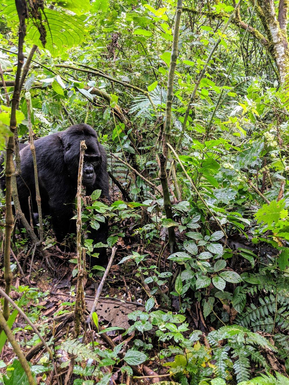 A silverback mountain gorilla in Bwindi Impenetrable National Park. Photographer: Elisabeth Engl