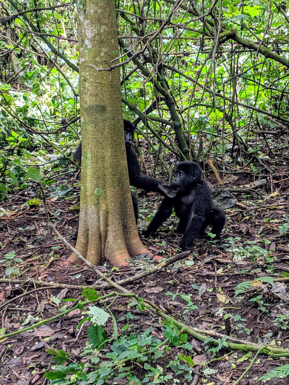 Young gorillas in Bwindi Impenetrable National Park. Photographer: Erman Misirlisoy