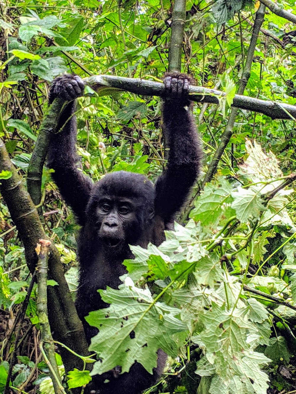 A young gorilla in Bwindi Impenetrable National Park. Photographer: Elisabeth Engl