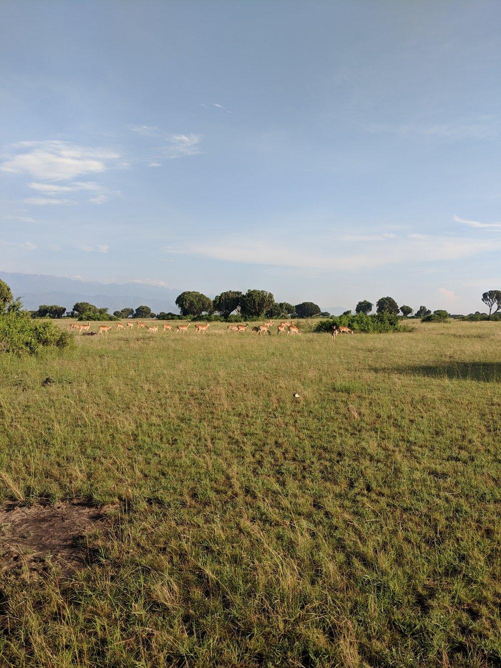 A herd of Ugandan kobs in Queen Elizabeth National Park. Photographer: Erman Misirlisoy