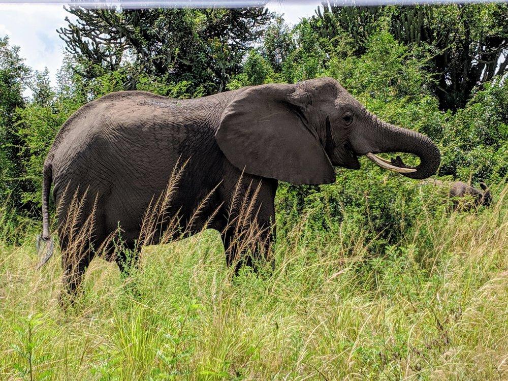 A wild elephant in Uganda. Photographer: Elisabeth Engl