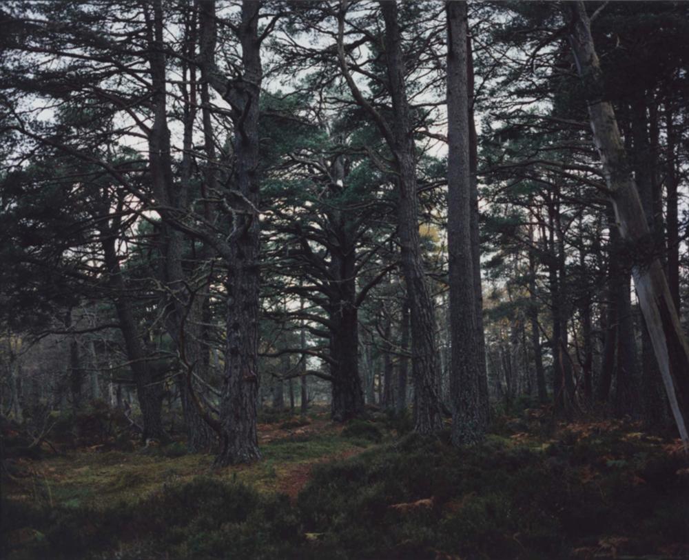 Revisiting - Pinus silvestris [illeg.] Plate n°1245  Aviemore, Rothiemurchus, October 2011, 57°8.713' N 3°50.290' W. © Chrystel Lebas
