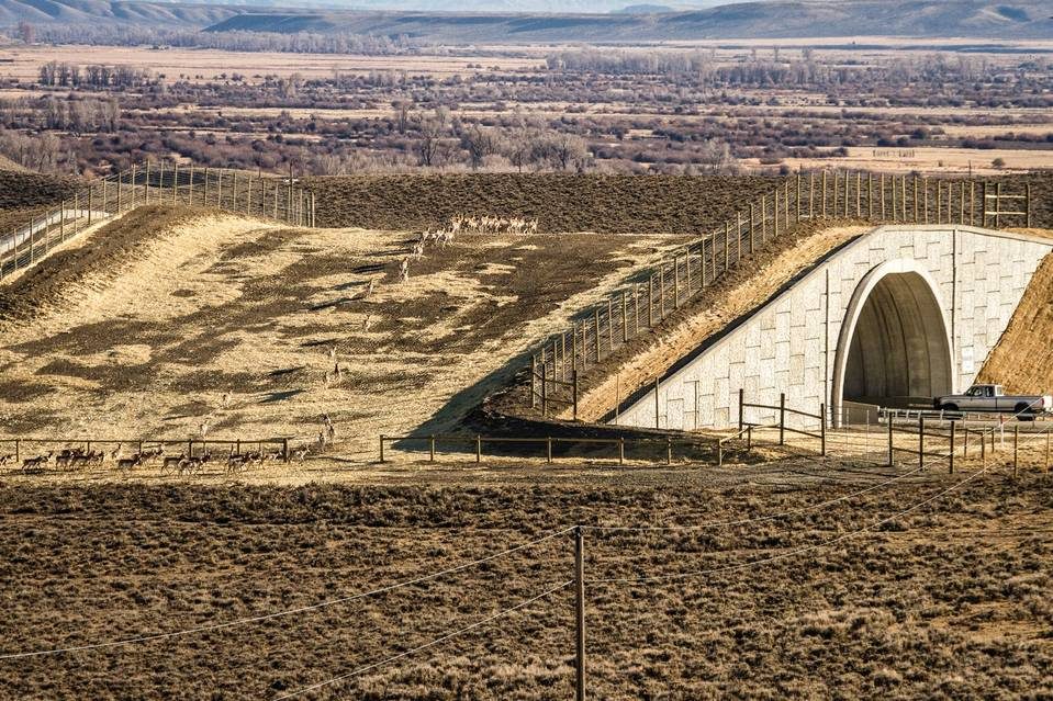 The June 21st edition of WSJ featured - new wildlife overpasses and how they can save the lives of both drivers and wildlife trying to cross major roads.  Cameras in 29 of these wildlife crossings indicated that almost 23,000 animals crossed during 2015, double the number from a year before. Roadkills along these highways decreased by 80 percent while roadkills increased in roadways without the crossings. Around 200 people and 29,000 animals annually are killed in wildlife-vehicle collisions, so these crossings show promise of significantly reducing such deaths.  A new crossing is being planned for Agoura Hills near Los Angeles primarily to allow rare resident mountain lions to pass through that area safely.  Photo Credit: JEFF BURRELL/WILDLIFE CONSERVATION SOCIETY