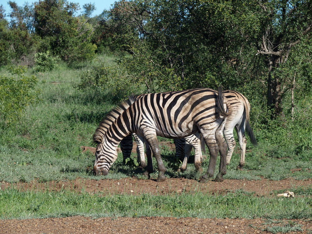 We got unexpectedly close to some zebra.