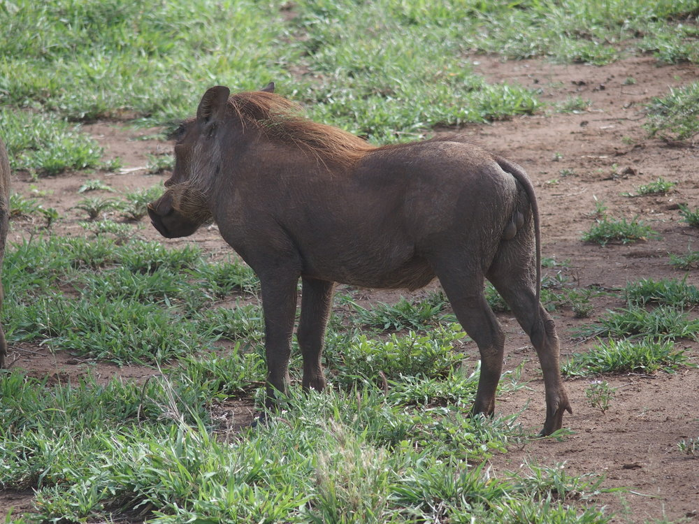 Some animals I did not expect, like this wildebeest