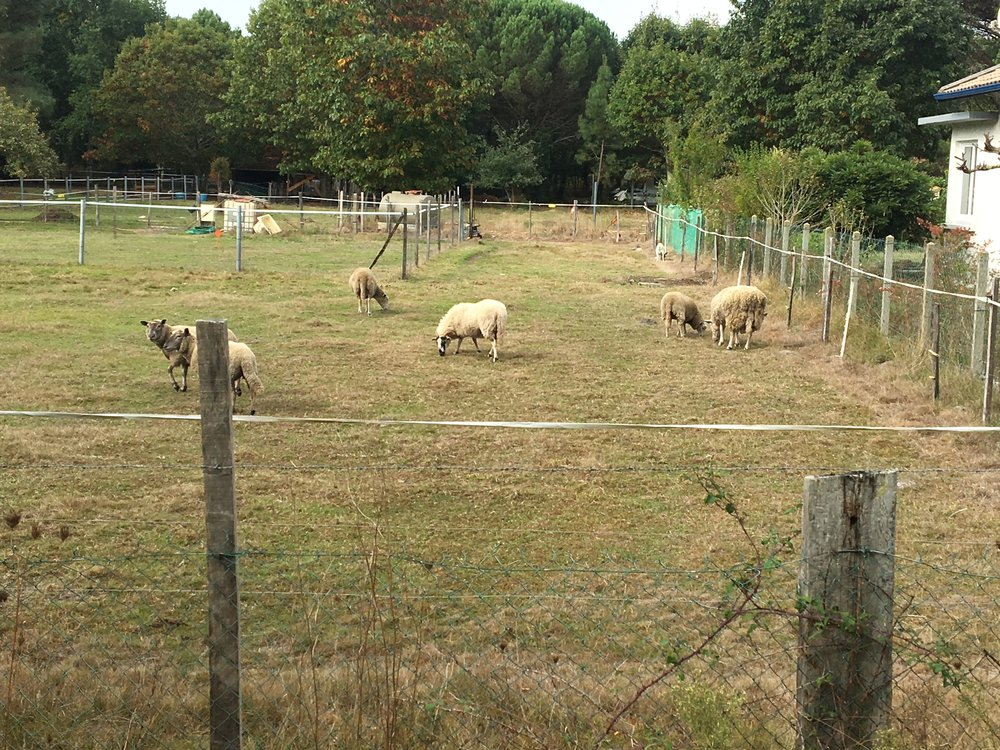 """Before the """"afforestation"""" of Landes, shepherding sheep was the biggest industry."""