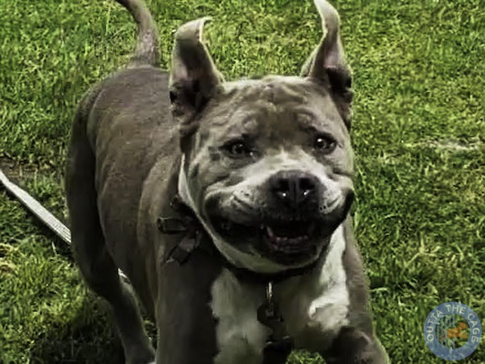 Meet JAYDA: Pit Bull, 11 years old, 77 pounds, medium energy