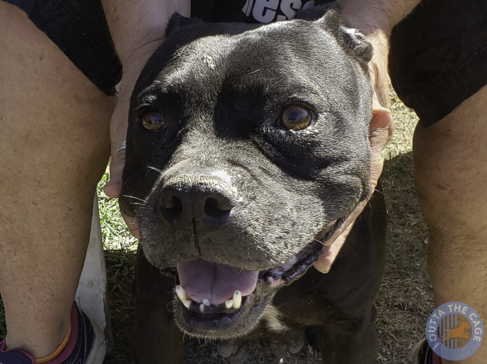 Meet PEPPER: Pit Bull, 11 years old, 42 pounds, high energy
