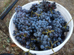 Grenache from a Santa Ynez Valley vineyard