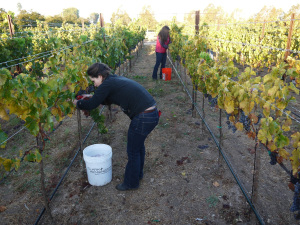 Zotovich, foreground, and Clifford, pick grenache from a vineyard near Ballard on the morning of Oct. 10.