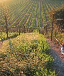 babcock-vineyard-2011-e1432155860206.jpg