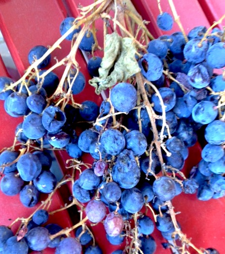 ld-grapes-12-13.jpg