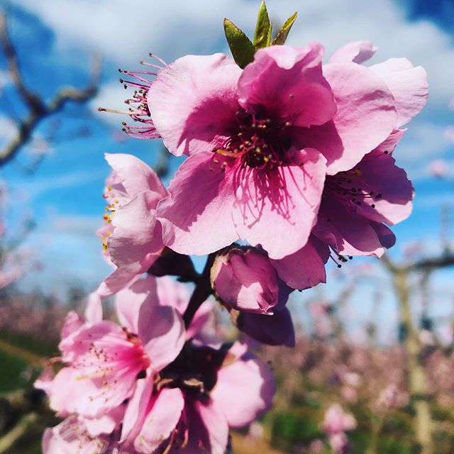 First Blossom 🌸 Amazing photo's from the field thanks @anthony_costa