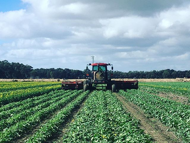 Happy Friday 🌱 in the Mallee today windrowing  seed canola crop to manipulate plant growth, a new experience for growers who are participating in a @pioneerseedsaus program! #canola #seedcrop #gentechseeds #wintercropping #winter #aussieag #agriculture #agronomy #agronomist #mallee #irrigated