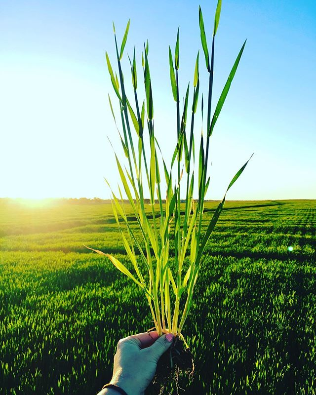 H A P P Y • F R I D A Y •  Early morning crop inspection in the Riverina. First flag leaves starting to appear in irrigated barley 🌱🌾. #agriculture #aussieag #barley #sunrise #riverina #cropping #cereal #landscape #rural #photography #agronomy#consulting #visitnsw #plants