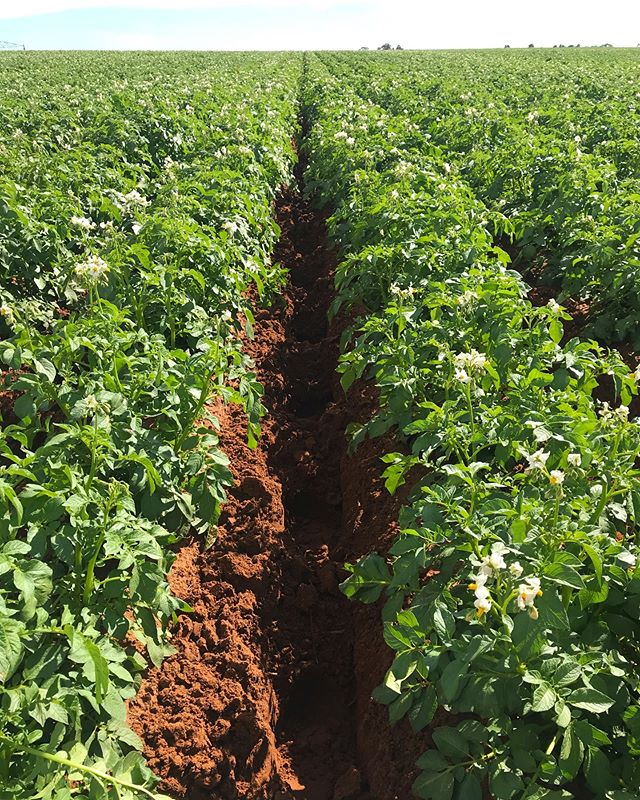 Dammer dyking potato pivots to stop water run off and improve irrigation #aussieag #australianmade #potatochips 🥔🍟