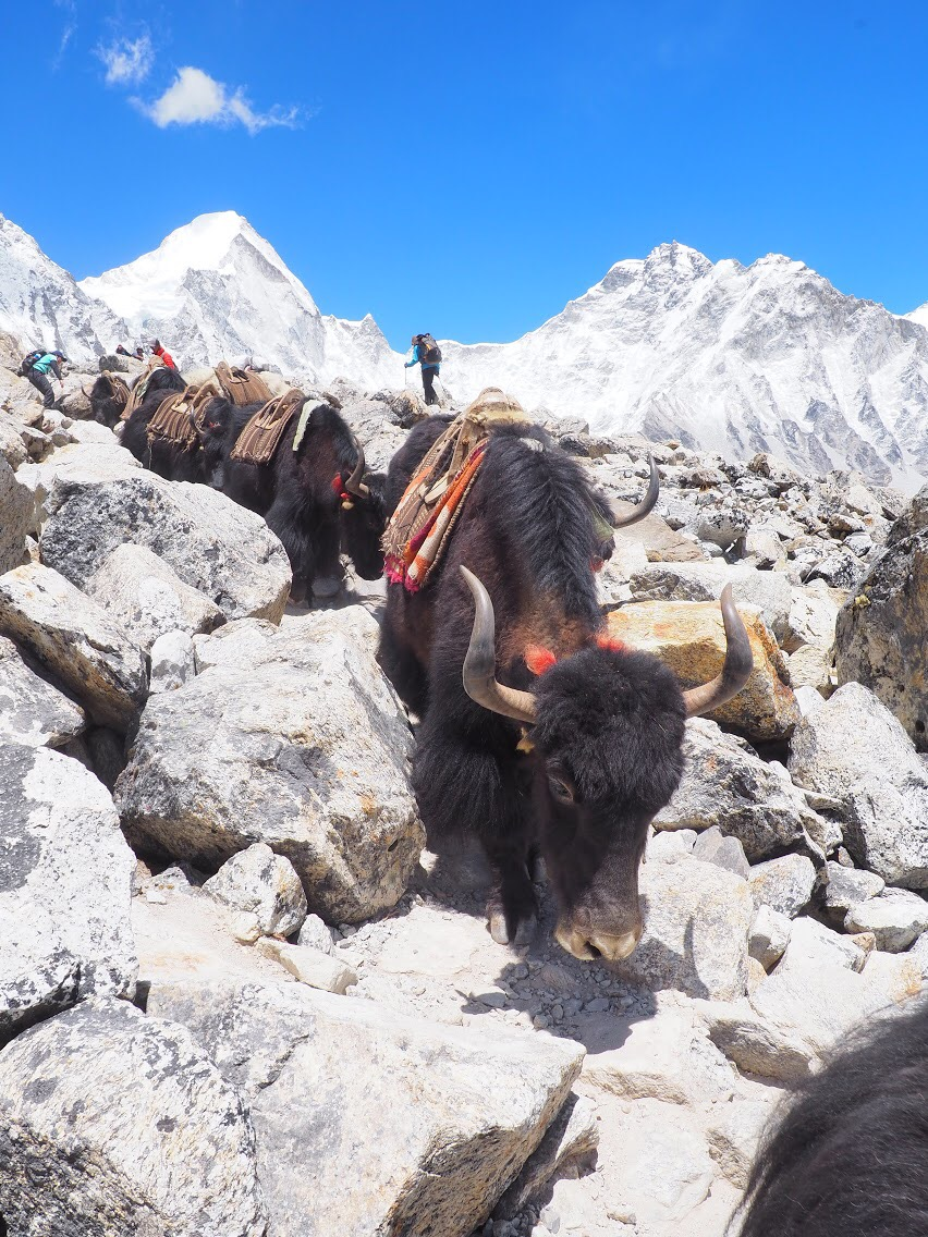 No packs make happy yaks
